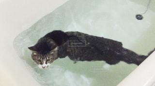 猫の写真・画像素材[416586]