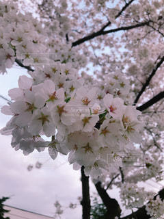 雨上がり朝桜の写真・画像素材[1159511]