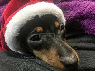 サンタ犬。同じ犬の写真は「kt_dog」「kt_pics 犬」で検索をの写真・画像素材[260873]
