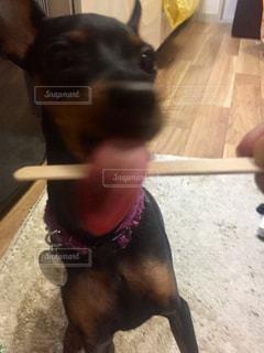 タグ: kt_dog で同じ犬の写真をまとめてあります!検索してみて下さい。の写真・画像素材[263092]