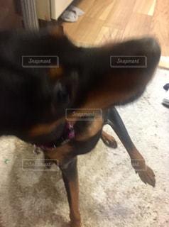 犬の写真・画像素材[263096]