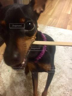 犬の写真・画像素材[263099]