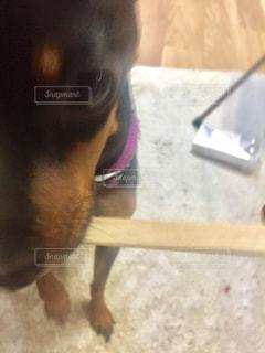 犬の写真・画像素材[263100]