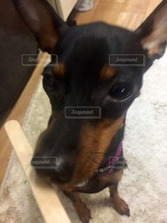 犬の写真・画像素材[263108]