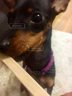 犬の写真・画像素材[263110]