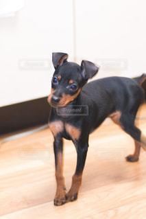 黒と茶色の犬の写真・画像素材[737132]
