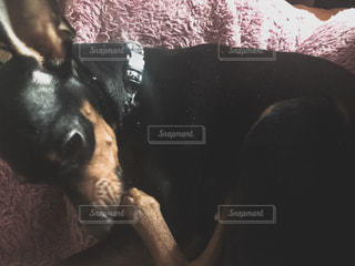 横になった黒い犬の写真・画像素材[1021495]