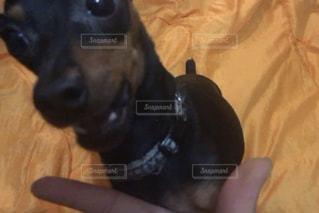カメラを見て小さな黒い犬の写真・画像素材[1061254]