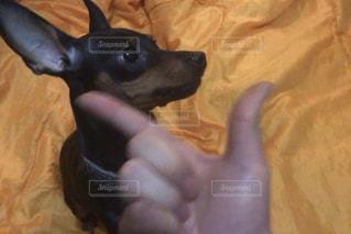 カメラを見て小さな黒い犬 - No.1061256