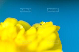 黄色の花の写真・画像素材[1080612]
