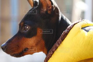 黒い犬の横顔。同じ犬の写真は「kt_dog」「kt_pics 犬」でチェックをの写真・画像素材[1759978]