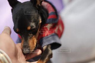 ごめんなちゃい。犬と飼い主の手。同じ犬の写真は「kt_dog」でチェックをの写真・画像素材[1885520]