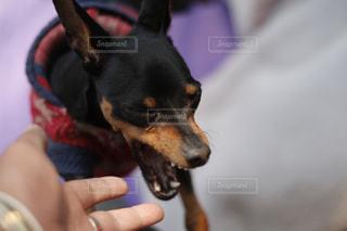 しゃああああああッッ!!叫ぶ犬と飼い主の手。同じ犬の写真は「kt_dog」でチェックをの写真・画像素材[1885524]