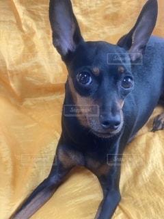 黒と茶色の犬の写真・画像素材[2713457]
