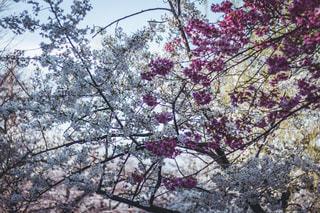 桜の花。木からぶら下がっている花の写真・画像素材[3047422]