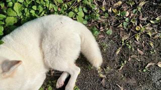 白い柴犬のしっぽと足ハイアングルの写真・画像素材[3805281]