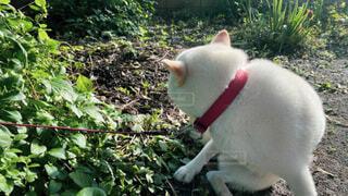 白い柴犬の後ろ姿の写真・画像素材[3805279]