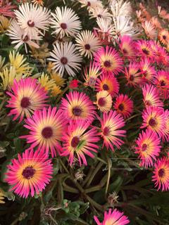 花畑の写真・画像素材[515266]
