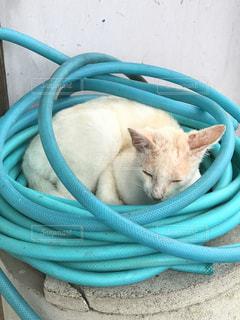 青いホースに横たわる猫 - No.765416