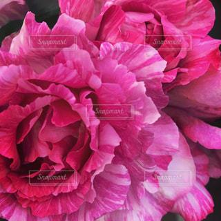 花の写真・画像素材[270712]