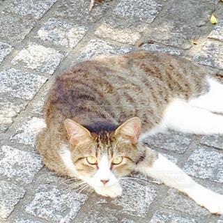 猫の写真・画像素材[261708]
