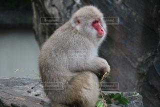 猿の写真・画像素材[262061]