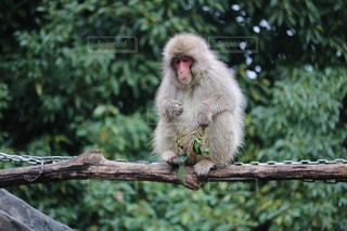 猿の写真・画像素材[262063]