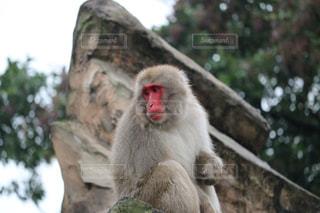 悲しい猿の写真・画像素材[262064]