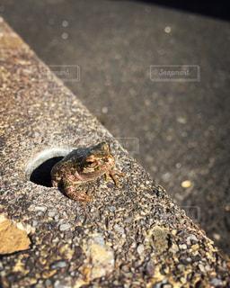 カエルの写真・画像素材[262458]