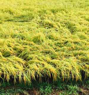 稲の写真・画像素材[738568]