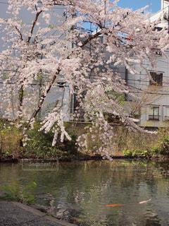 善知鳥神社の裏手の池の桜と鯉の写真・画像素材[2112681]