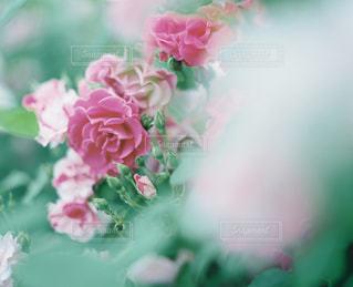 花の写真・画像素材[5578]