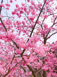 横浜緋桜の写真・画像素材[1088430]