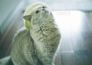 猫の写真・画像素材[5337]