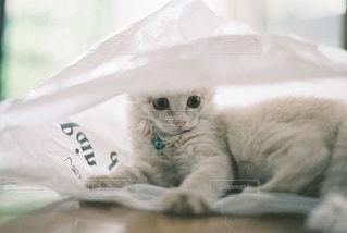 猫の写真・画像素材[5291]