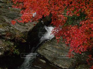 紅葉の写真・画像素材[265016]