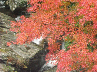 紅葉の写真・画像素材[265017]