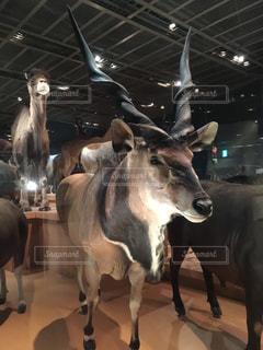 上野の国立科学博物館に展示されている動物の写真・画像素材[1609084]