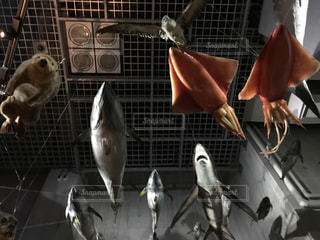 上野の国立科学博物館を飛ぶ魚とイカの写真・画像素材[1609089]