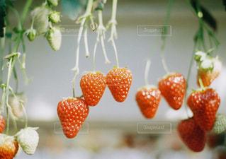 苺の写真・画像素材[280593]