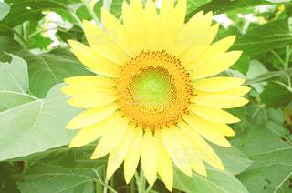 近くの花のアップの写真・画像素材[1325151]