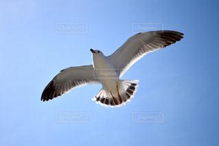 空,動物,鳥,羽,生物,羽根,野鳥,生き物,ウミネコ,飛行,うみねこ