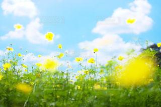 野原の黄色い花の写真・画像素材[2446851]