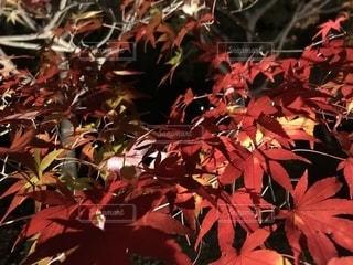 木の中の赤い花のクローズアップの写真・画像素材[2531521]