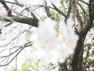 ぼんやり桜の写真・画像素材[1087652]