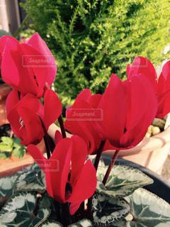 花の写真・画像素材[269437]