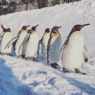 雪の中のペンギンの写真・画像素材[1743620]