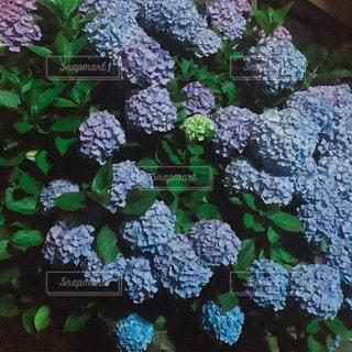 紫陽花の写真・画像素材[271024]