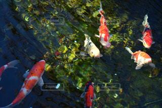 魚の写真・画像素材[279863]