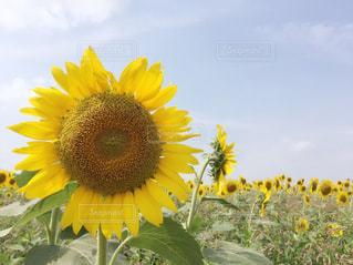 黄色の花の写真・画像素材[758797]